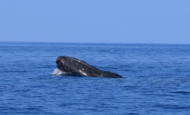 1 Whale head