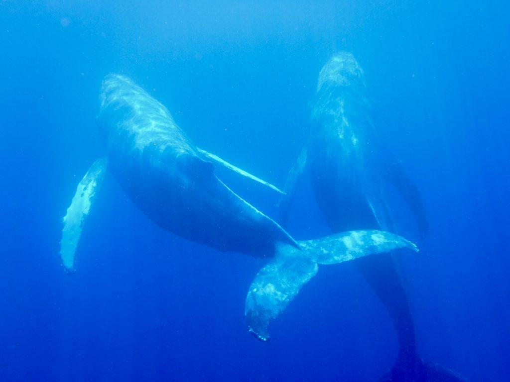 Schwimmen mit Walen in Hawaii