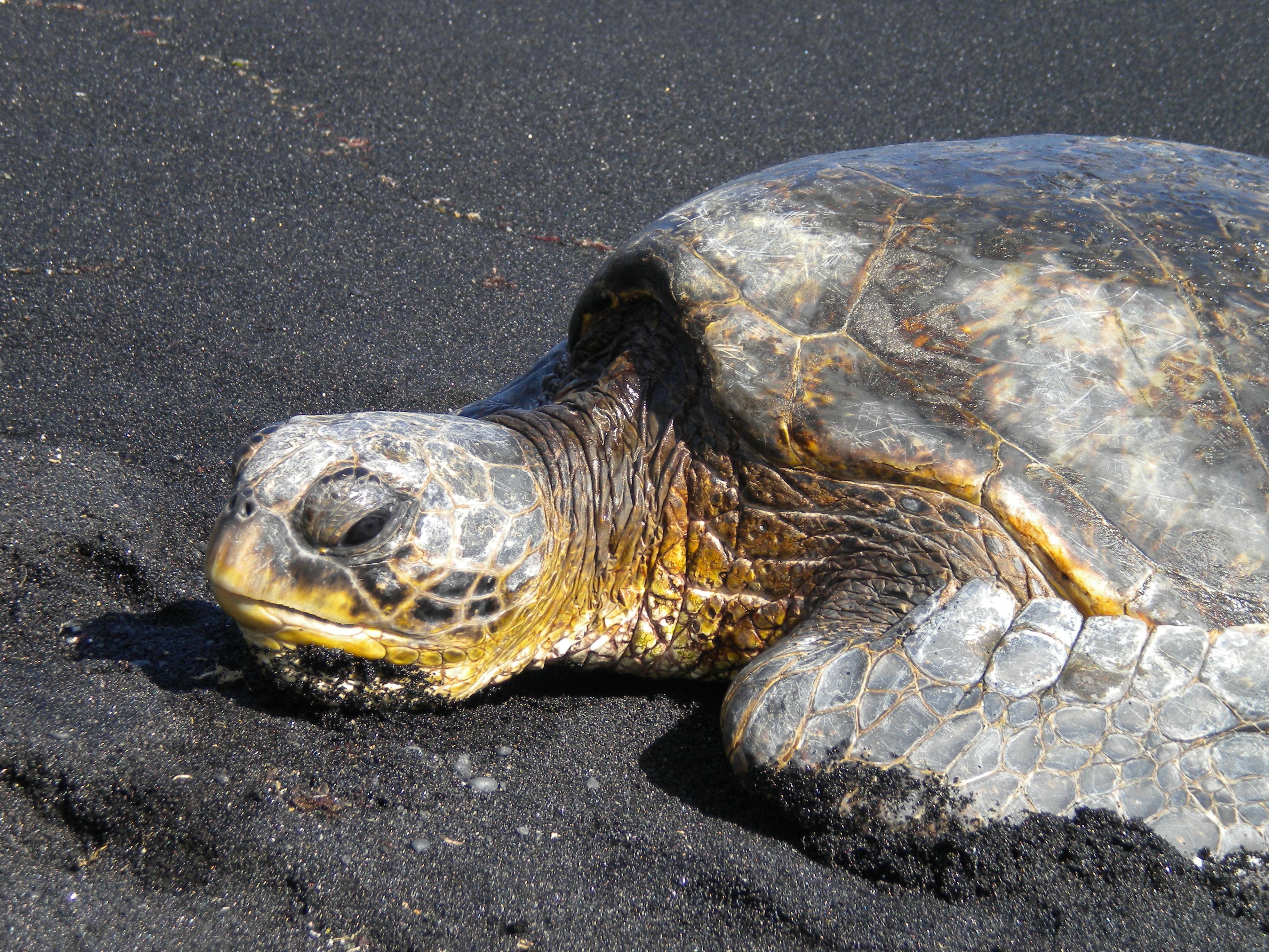 Schildkröte Hawaii